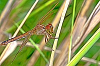 Needham's Skimmer Dragonfly Eating