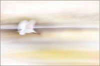 A flying white heron
