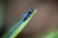 Blue damselfly, order Odonata, suborder Zygoptera  Photographed in the mountains of Costa Rica