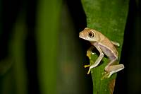 A tropical frog perched on a palm leaf  Photographed in Costa Rica