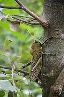 A tropical grasshopper, order Orthoptera, perched on a tree trunk  Photographed in Costa Rica