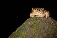 A cane toad, Bufo marinus, perched on a rock  Photographed in Costa Rica