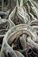 Tangled tree roots  Photographed in Costa Rica
