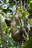 Brown-throated three-toed sloth, Bradypus variegatus, hanging in tree  Photographed in Costa Rica