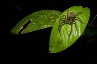 Tropical spider on a leaf  Photographed in Costa Rica
