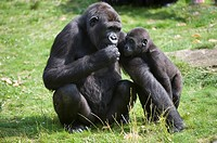 Western Lowland Gorilla Gorilla gorilla gorilla, Female with young, Critically endangered IUCN 2009 Gorille des plaines de l'Ouest Gorilla gorilla gor...