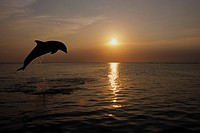 Bottlenose dolphins leaping @ sunset Carribean Sea Roatan Honduras