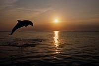 Bottlenose dolphins leaping @ sunset Carribean Sea Roatan Honduras