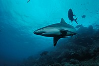 Gray reef shark Carcharhinus amblyrhynchos patrolling coral reef  Shark Reef, Beqa Lagoon  Fiji, South Pacific Ocean