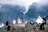 Group of Gentoo penguins sitting on rocks Antarctica Summer