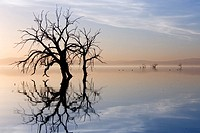Silhouetted trees w/bird reflect in Salton Sea @ sunset Sonny Bono Wildlife Refuge California USA