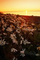 Daisy flowers in the foreground while the sun sets over the Atlantic Ocean Iceland