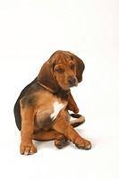 Ogar Polski, puppy, 9 weeks, Polish Hound