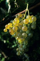 France, Charente Maritime, Ile de Re, town of Sainte Marie, grapes