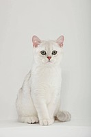 British Shorthair Cat, kitten, silver_shaded