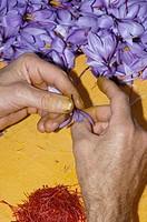 Extracting Saffron Flower stigmas, Saffron Crocus, Madridejos, Toledo province, Castilla_La Mancha, Spain, Crocus sativus