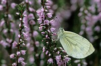 Green_veined White and Common Heather, Pieris napi, Calluna vulgaris