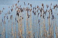 Reeds at the edge of a lake, County Fermanagh Northern Ireland