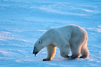 Polar Bear (Ursus maritimus), Churchill, Canada (November 2005)