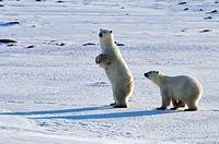 Polar bear Ursus maritimus Mother and cub