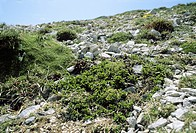 Willow Salix retusa in flower on a rocky mountain slope in Gran sasso National Park, Abruzzo in Italy.