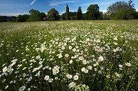 Ox_eye daisies Leucanthemum vulgare syn. Chrysanthemum vulgare flowering in a hay meadow in Dordogne in France.