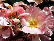 Rose Rosa ´Soft Knockout´ in flower.