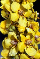 Mullein Verbascum densiflorum in flower in the summer.