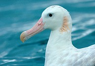 Wandering Albatross Diomedea exulans adult, close_up of head, swimming at sea, Kaikoura, South Island, New Zealand