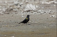 Yellow_winged Blackbird Agelasticus thilius adult male, standing on mud beside pampas lagoon, Buenos Aires Province, Argentina, january