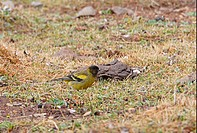 Black_headed Siskin Serinus nigriceps adult male, walking on moorland, Bale Mountains N P , Oromia, Ethiopia, april