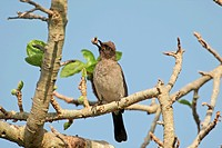 Common Bulbul Pycnonotus barbatus adult, feeding on fruit in fig tree, Gambia, december