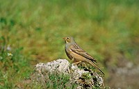 Ortolan Bunting Emberiza hortulanus immature male, Lesbos, Greece, april