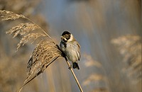 Reed Bunting Emberiza schoeniclus adult male, winter plumage, perched on phragmites seedhead, Norfolk, England, february