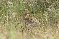 Little Bustard Tetrax tetrax adult female, in steppe nesting habitat, Extramadura, Spain, may