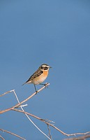 Whinchat Saxicola rubetra adult male, perched on twig, Lesvos, Greece