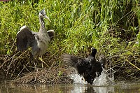 Common Coot Fulica atra defending nest from Grey Heron Ardea cinerea, England