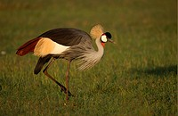 Grey Crowned_crane Balearica regulorum adult walking, Masaii Mara, Kenya