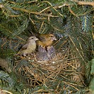 Crossbill Loxia curvirostra Pair at nest with young demanding S