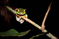 Red-eyed tree frog, Agalychnis callidryas, perched on a stem  Photographed in Costa Rica
