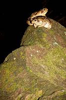 Two cane toads, Bufo marinus, perched on a rock  Photographed in Costa Rica