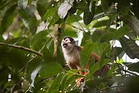 Male squirrel monkey, Saimiri oerstedii, foraging for fruit  This is an endangered species  Photographed in Costa Rica