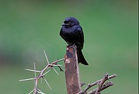 Fork_tailed Drongo Dicrurus adsimilis adsimilis adult, perched on wood, Lake Naivasha, Kenya, october