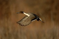 Northern Pintail Anas acuta adult male, in flight, New Mexico, U S A