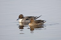 Northern Pintail Anas acuta adult pair, swimming, Martin Mere, Lancashire, England