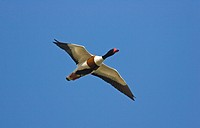 Common Shelduck Tadorna tadorna adult male, in flight, Norfolk, England