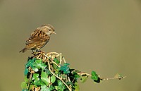 Dunnock Prunella modularis Perched on post covered with ivy