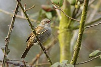 Dunnock Prunella modularis adult, singing, perched in hedgerow, Warwickshire, England, spring