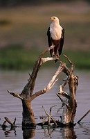 African Fish Eagle Haliaeetus vocifer perched on dead wood in water, Chobe N P , Botswana