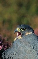 Peregrine Falcon Falco peregrinus adult calling, close_up of head, South Yorkshire, England